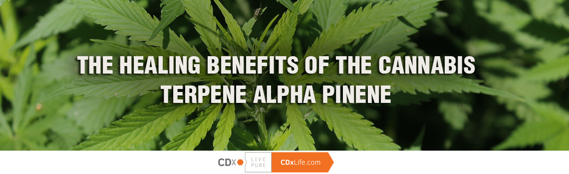 The Healing Benefits of the Cannabis Terpene Alpha Pinene